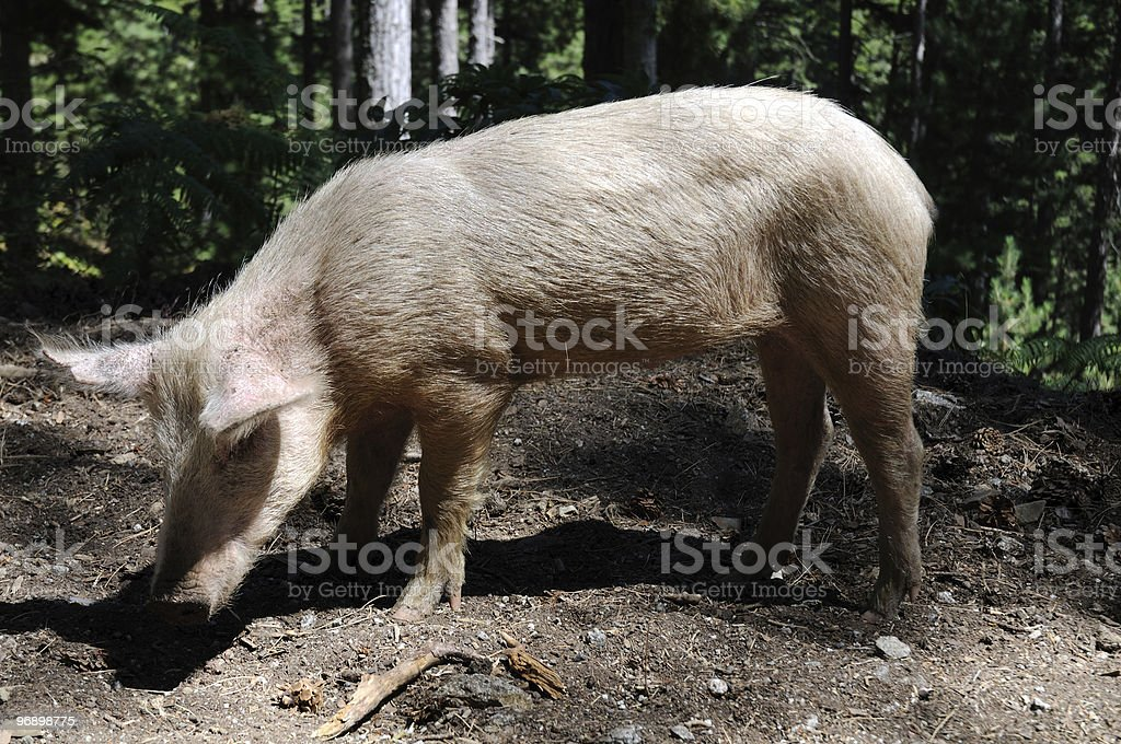 Hog royalty-free stock photo