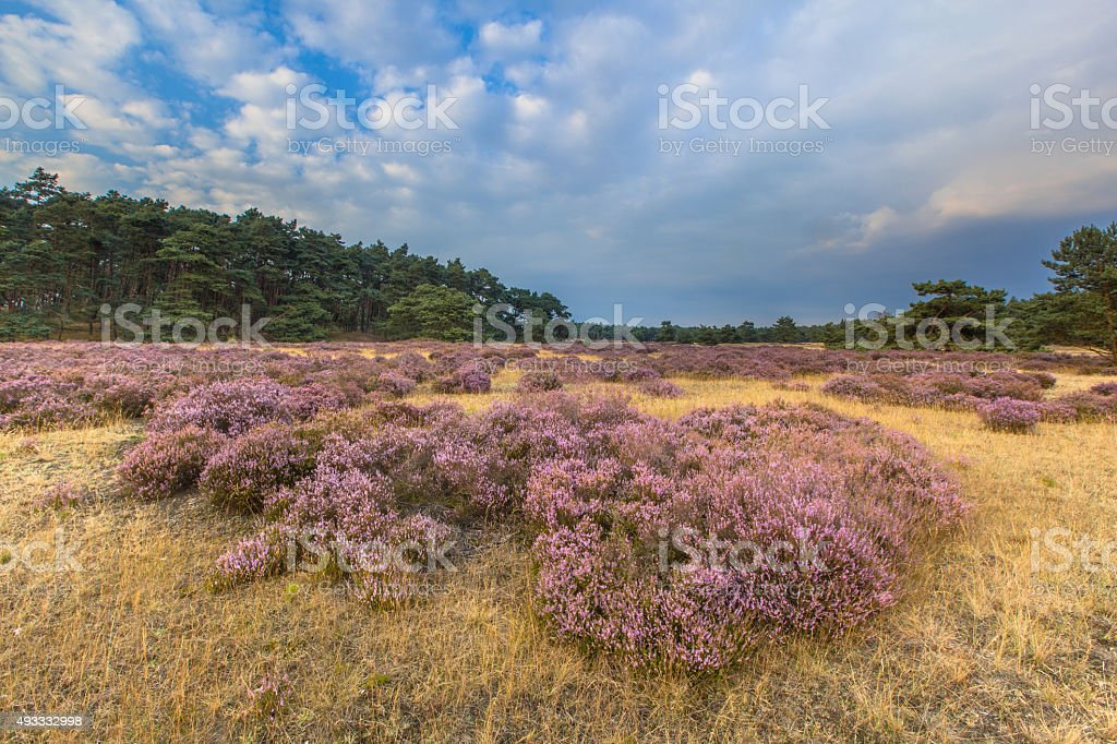 Hoge Veluwe Heathland stock photo