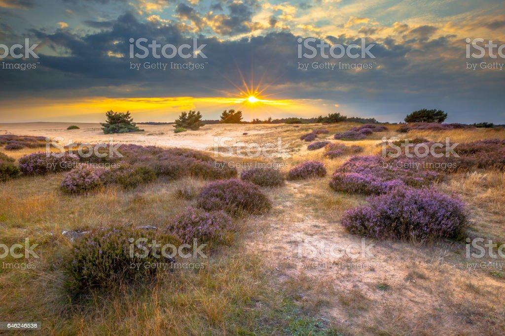 Hoge Veluwe Sand dunes with Heath stock photo