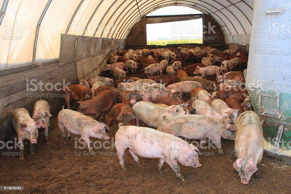 Hogs Roam Inside Central Iowa Hoop Barn Royalty Free Stock Photo