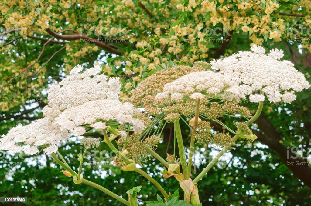 Hogweed a poisonous plant threat inflorescence of white flowers of hogweed a poisonous plant threat inflorescence of white flowers of the cow parsnip royalty mightylinksfo