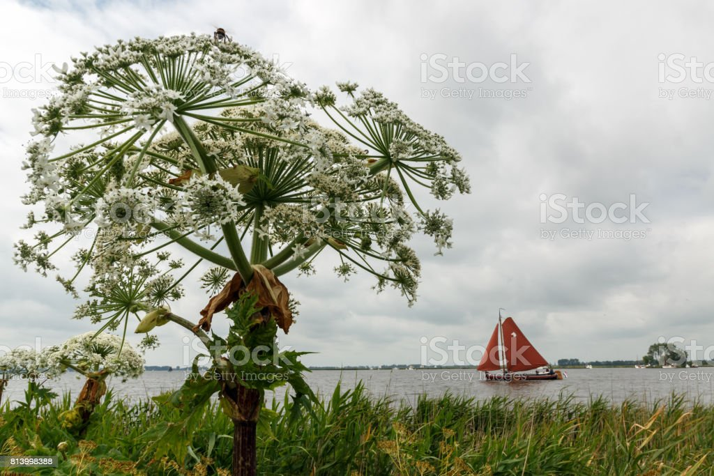 Hogweed along the side of a lake. the lake is called 'Sneekermeer' stock photo