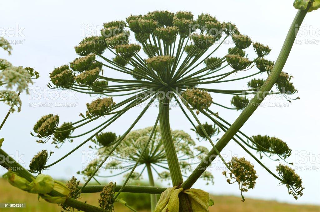 Berenklauw bloesems, wilde giftige plant ambrosia foto