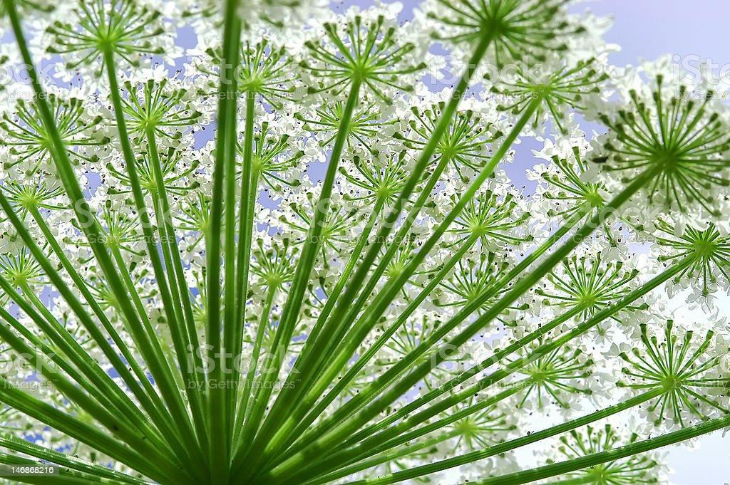 Hogweed heracleum flower        (© Lobke Peers) foto