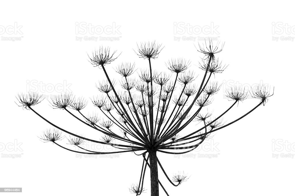 Hogweed in winter time royalty-free stock photo