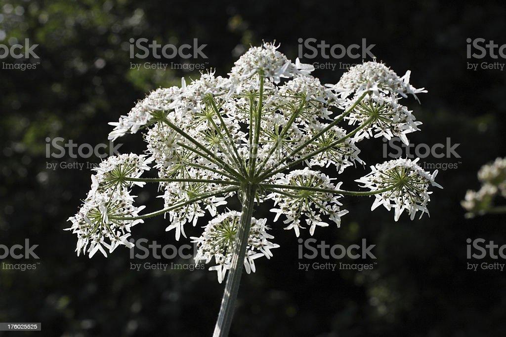 Hogweed or cow parsnip Heracleum sphondylium white wild flowers foto