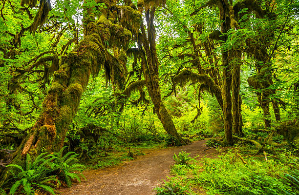 Hoh rain forest in Olympic national park, Washington stock photo