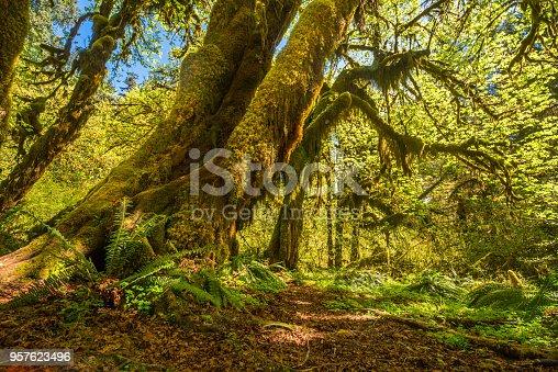Hoh Rainforest, Rainforest, Olympic Peninsula, Tree, USA