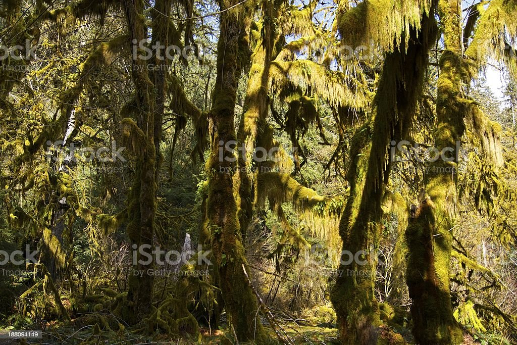 Hoh Rainforest Maple Grove stock photo