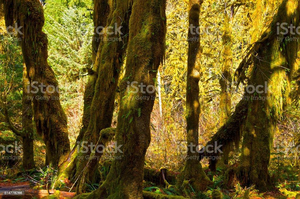 Hoh Rainforest stock photo