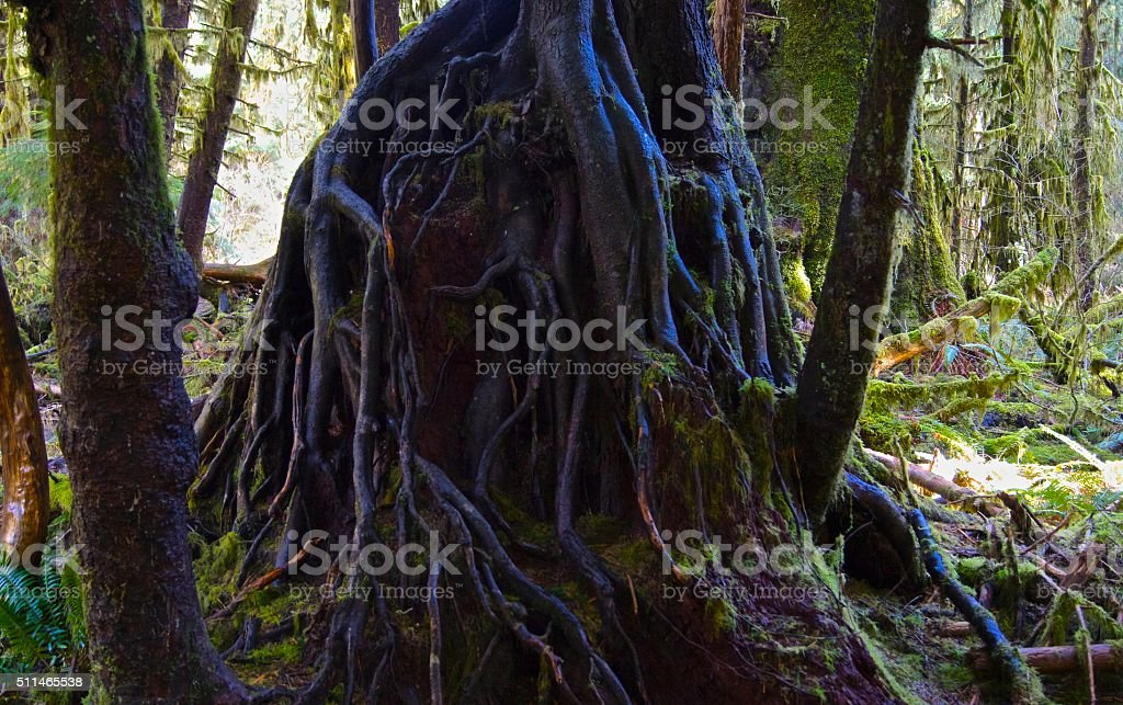 Hoh Rainforest Roots stock photo