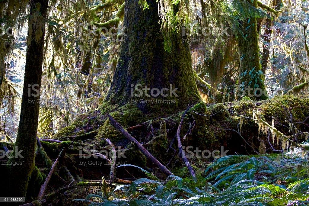 Hoh Rainforest Scene stock photo