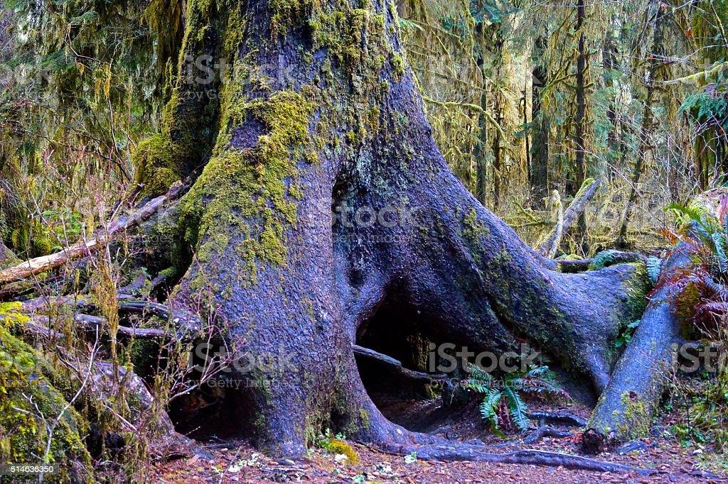 Hoh Rainforest Sitka Spruce stock photo