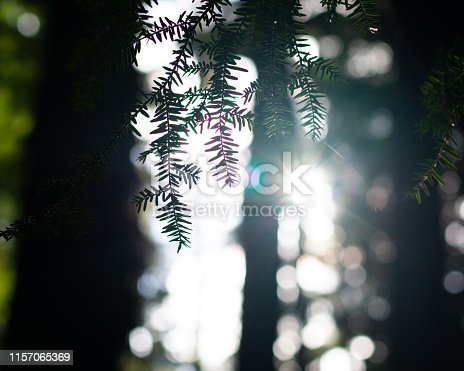 Morning sunlight Peeking Through the Trees in a dense evergreen forest