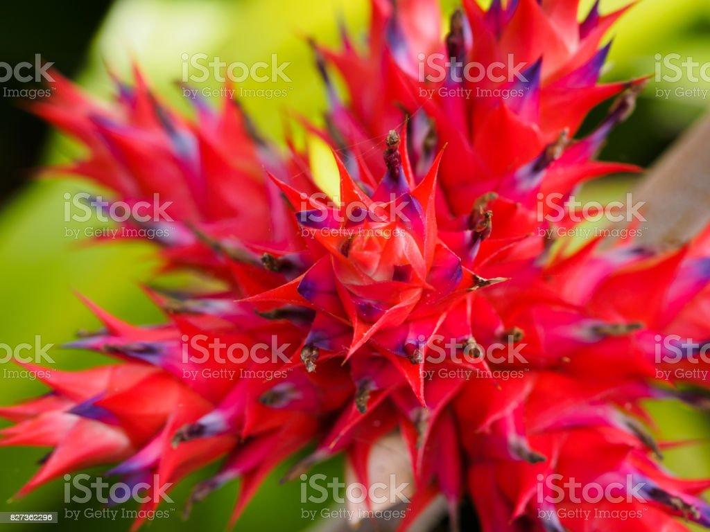 Hohenbergia stellata - foto de acervo