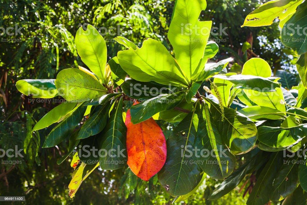 hojas de las ramas del arbol de mango royalty-free stock photo
