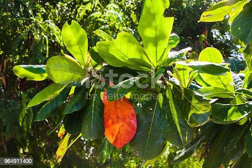 Hojas De Las Ramas Del Arbol De Mango Stock Photo & More Pictures of Agriculture