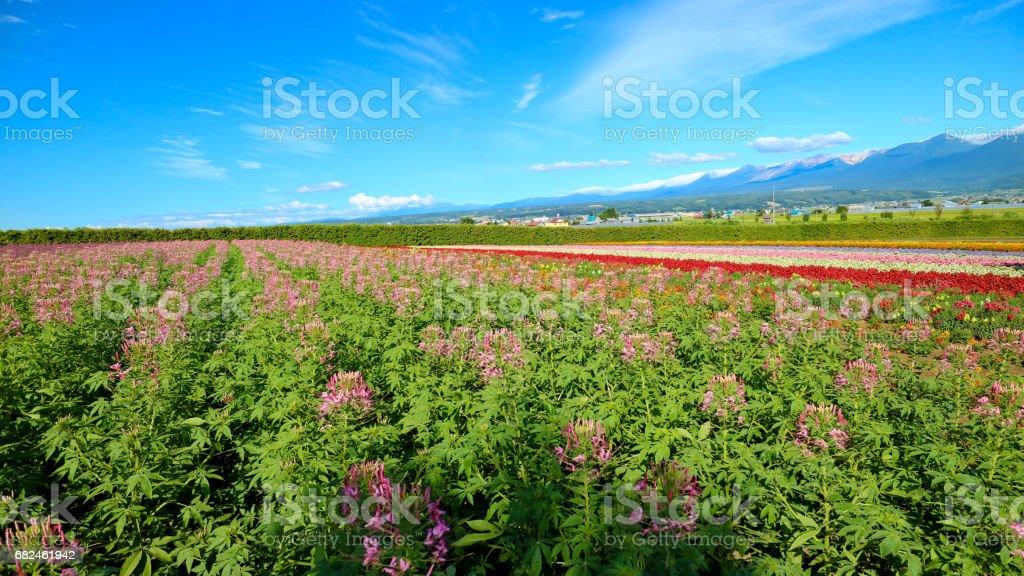 Hokkaido Lavender Field royalty-free stock photo