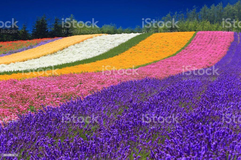 Hokkaido Summer Flower Fields stock photo
