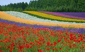 北海道夏の花フィールド