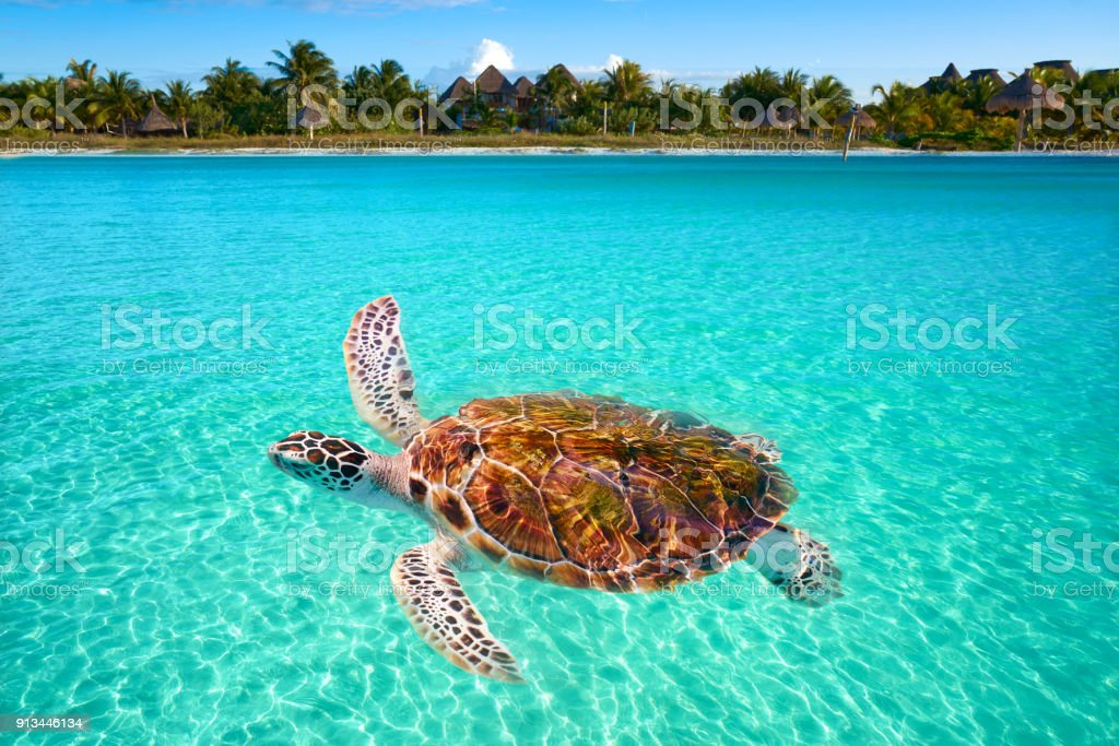 Holbox Island turtle photomount in Mexico stock photo