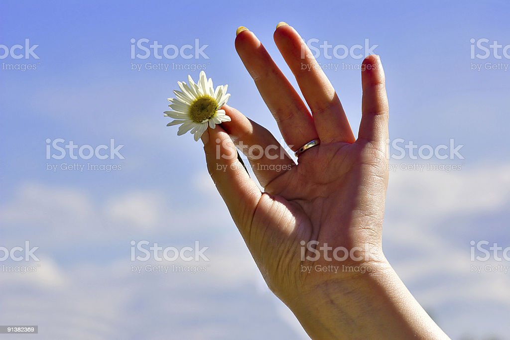 hold chamomile royalty-free stock photo