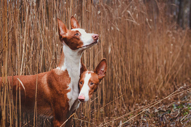 Hold me tight Two Ibizan hounds in nature leaning against each other sight hound stock pictures, royalty-free photos & images