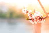 Hold on Spring. Blooming fruit apple cherry white pink blossom tree branch in kid's small hand. Copy space. Blurred nature background