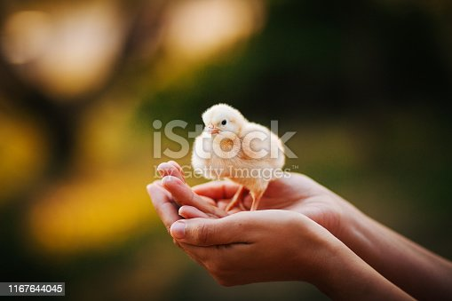 Baby Chicken, Animal, Bird, Chicken - Bird, Cute