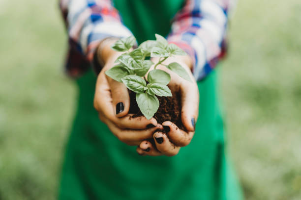 Holding a basil plant with bare hands stock photo