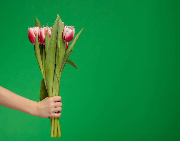 holding a bouquet of white red tulips stock photo