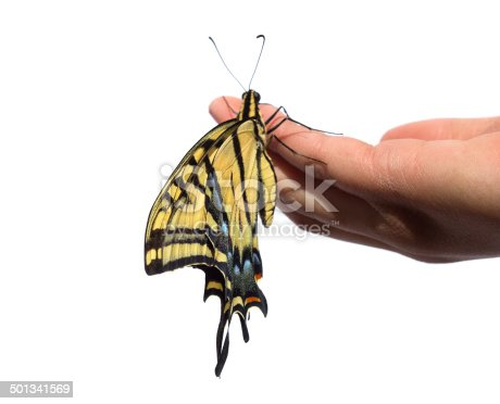 A Two-tailed Swallowtail Butterfly (Papilio multicaudata) clings to a child's hand as it drys it's new wings, isolated on a white background.