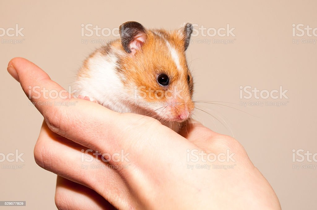 Holding a hamster stock photo