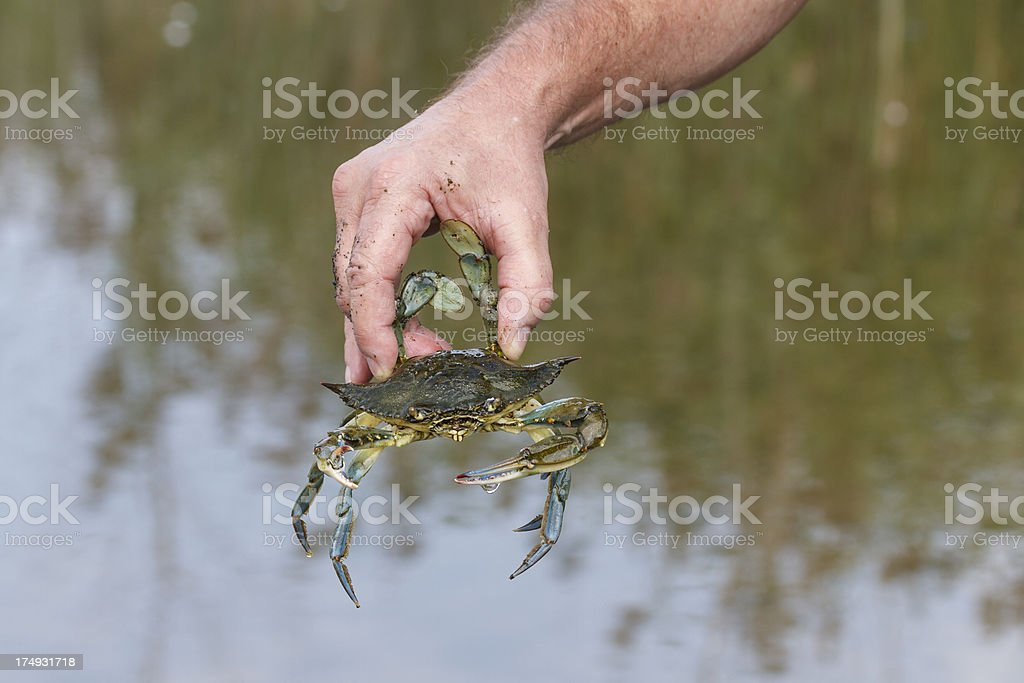 Holding a Maryland Blue Crab stock photo
