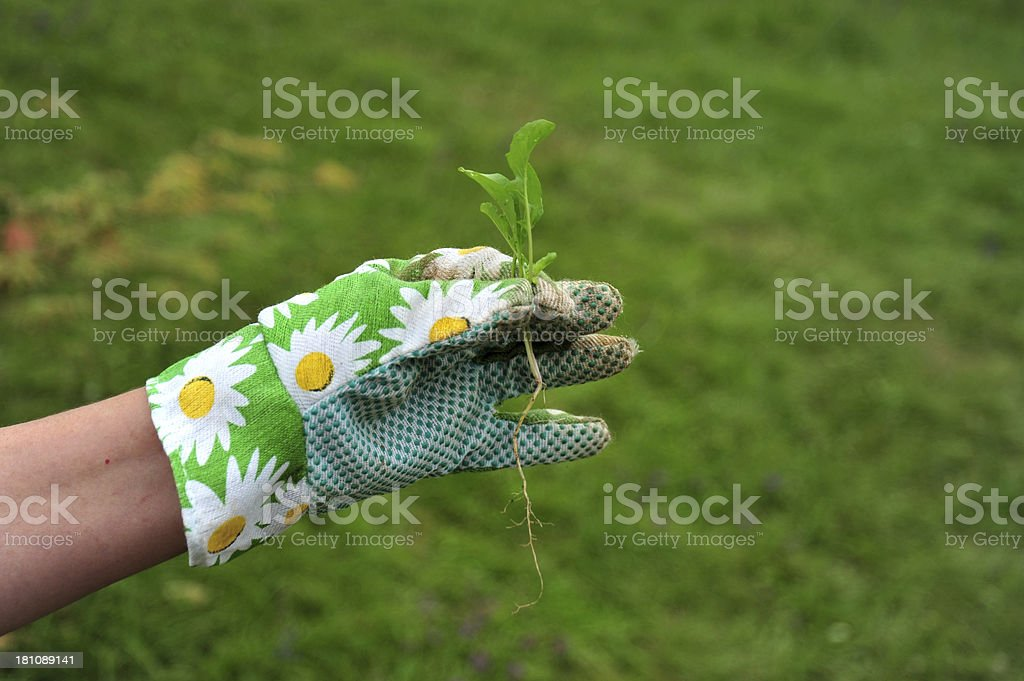 Holding a small plant just before planting royalty-free stock photo