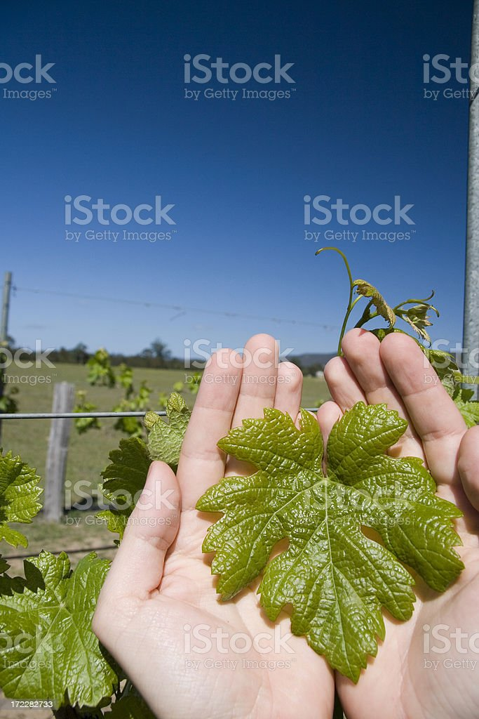 Holding a wine leaf royalty-free stock photo