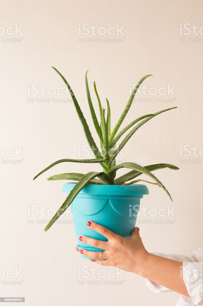 Tenant une plante d'Aloe Vera - Photo
