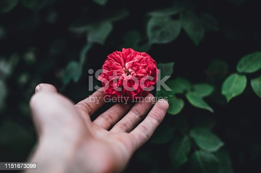 Holding beautiful red rose with blurred green background