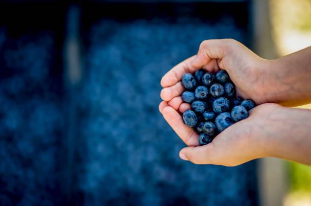 mantener arándanos en la granja - lifestyle color background fotografías e imágenes de stock