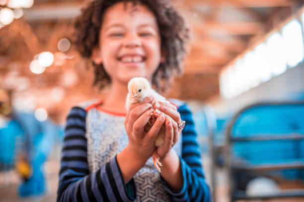 Holding chicken in her hands Girl is holding chicken in her hands on a farm in Australia. chicken bird stock pictures, royalty-free photos & images