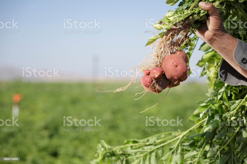 holding fresh red potatoes stock photo