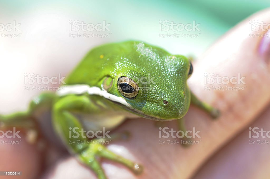 Holding Gree Tree Frog (Hyla cinerea) royalty-free stock photo