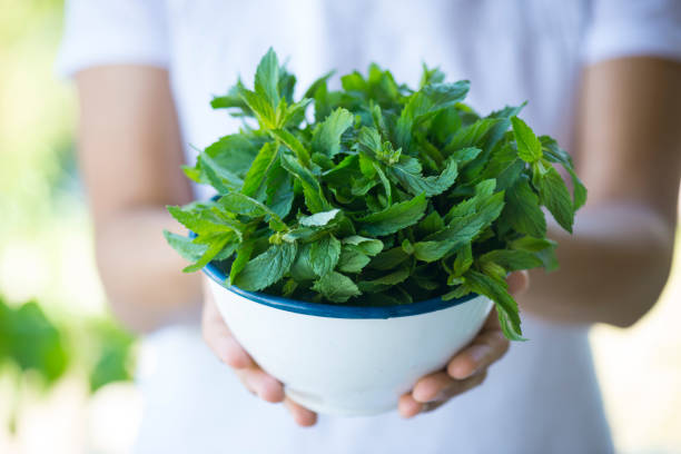 Holding Green Fresh Mint stock photo
