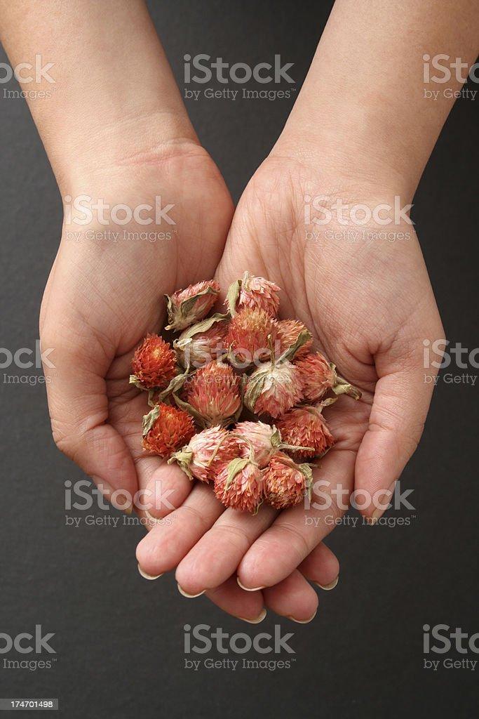 Holding plum flowers royalty-free stock photo