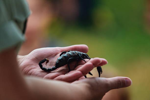 Scorpion de fixation - Photo