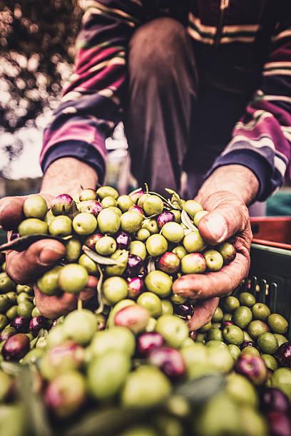 holding the olive fruit stock photo