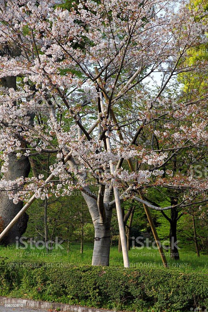 Holding Up the Sakura Tree foto royalty-free