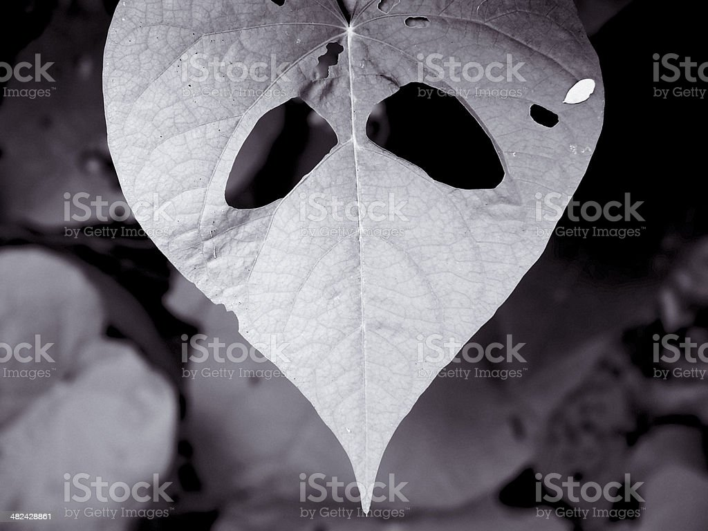 Holes in Leaf of Sweet potato, Ipomoea batatas, royalty-free stock photo
