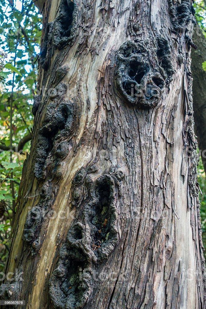 Holes In Tree Trunk 2 royalty-free stock photo