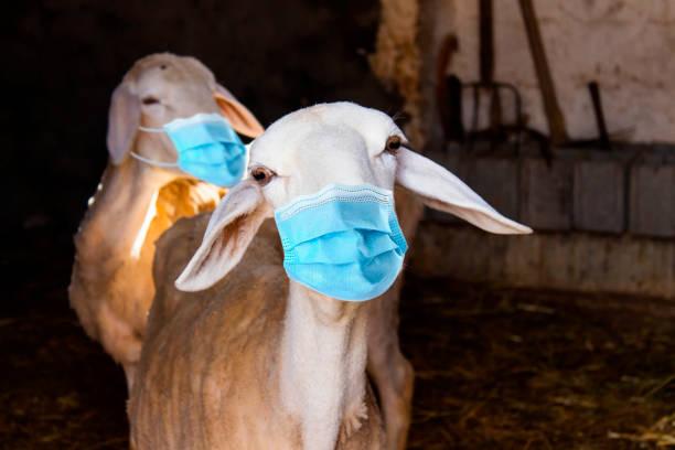 Urlaub Eid Al Adha Mubarak mit Schafen tragen medizinische Maske.  Islam Festival Konzept – Foto